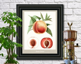 Peaches Botanical Print Vintage Peaches Illustration Kitchen Wall Art Poster  0459
