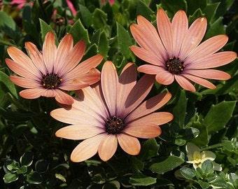 African Daisy Salmon Flower Seeds / Annual   40+