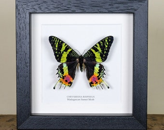 Madagascan Sunset Moth in Box Frame (Chrysiridia rhipheus) Real Moth Frame