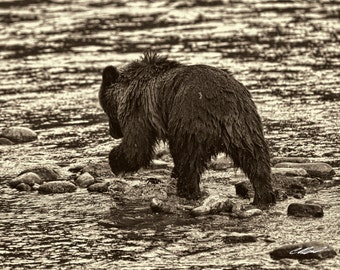 Baby Steps (Grizzly Bear Cub)