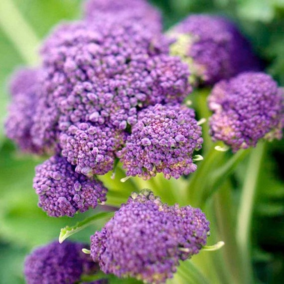 Broccoli Purple Sprouting Vegetable Seeds Brassica oleracea