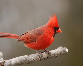 Cardinal, male, bird, songbird, photo, print, photography, wall art, home decor, best