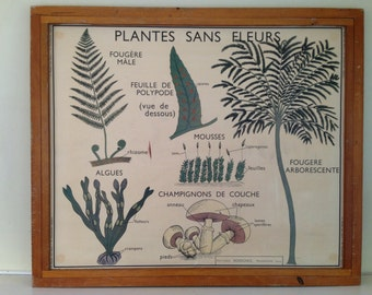 French Vintage Double-Sided School Poster - Plants without flowers & Classification of Plants