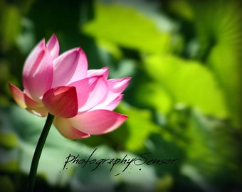 Photography of Lotus Flower, Artwork, Nature, Pink and Green Work, Printing Floral Art Deco for nursery, floral sticker.