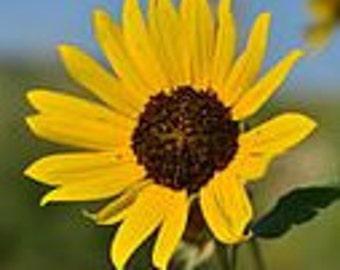 Wild Sunflower Flower Essence - Balance Divine Masculine & Divine Feminine, Courage, Self-confidence, Freedom of Expression, Optimism