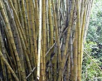 Bambusa polymorpha - Bambusa cyanostachya - 5 seeds