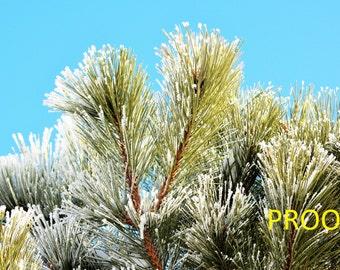 Glistening Pine