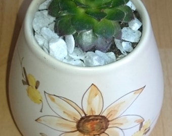 Potted Sempervivum Hens and Chicks Mini Garden Succulent Plant in a Hand Painted Ceramic Pot