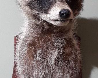 Taxidermy raccoon head mount