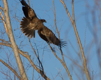 bald eagle photograph,bald eagle,digital download,wildlife photography,bird of prey,eagle,nature,outdoors