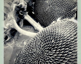 New Mexico Sun Flowers- Black and White