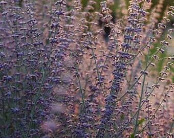 Lavender Print, Lavender Photography, Floral Photography, Sunset