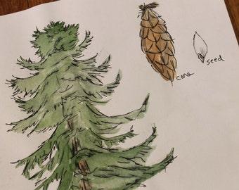 "Douglas Fir Original Watercolor and Ink on Paper 9x12"""