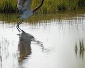Egret in the Salt Marsh Landscape Stone Harbor New Jersey Fine Art Photograph