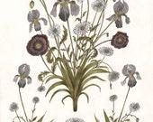 Iris, Poppy, and Daisy - Print