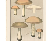 Antique 1895 mushroom print by CHARLES PECK, Plate 43, botanical, fungi, vintage chromolithograh print