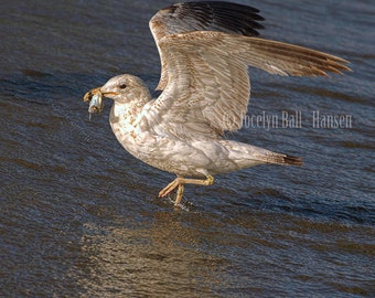 Seagull Photo, Gull With Fish in Water on Beach, Glowing Evening Light, Seagull with Fish, Fine Art Photographic Bird Print, Nature Wall Art