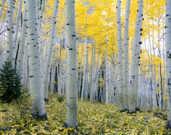 Aspen trees fall photo, Colorado aspen wall art, fall trees photo, log cabin decor, fine art photography, rustic wall art | New Morning