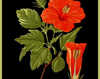 antique french botanical illustration tropical flower red hibiscus DIGITAL DOWNLOAD