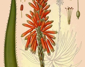 antique botanical print aloe vera plant and flower medicinal plant illustration digital download