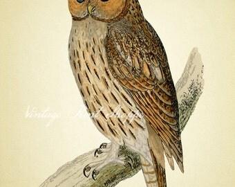 Antique tone Owl art print Vintage Scientific Illustration reproduction art 5x7 print Owl Art Home Decor Naturalist Natural History beige