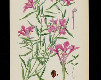 Antique print, 1896  BOTANICAL print, lovely chromolithograph of a Clarkia pulchella also known as pinkfairies, ragged robin, and deerhorn