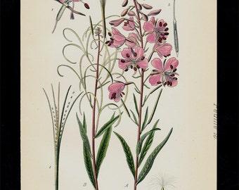 Antique print, 1896 Antique BOTANICAL print, lovely chromolithograph of willowherbs, spike-primroses