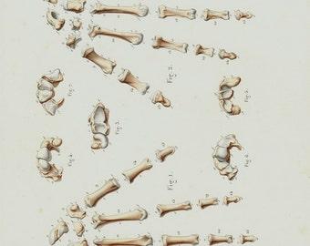 Antique print 1850  Antique  ANATOMY print, hand and finguers bones,