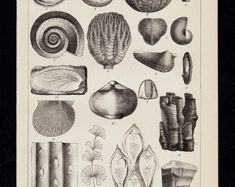 Antique print, 1893 Antique SEA SHELL print Conch and fossils, old nice lithograph