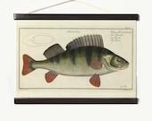 Large Vintage Reproduction Print Perch Fish Pull Down Chart. Aquatic Life Perga Fluviatilis Biology Educational Diagram Chart. CP254cv