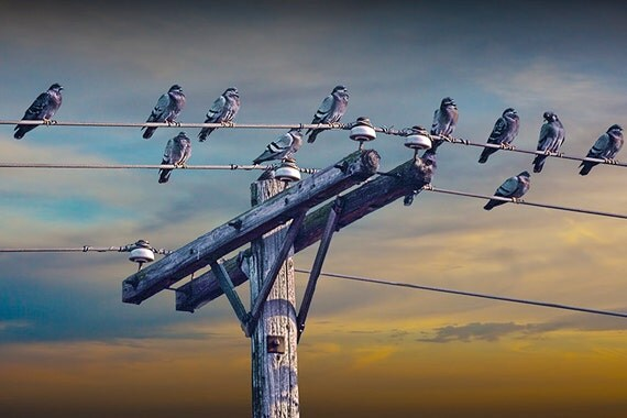 Birds on a Wire with a Flock of Pigeons sitting on Power Line