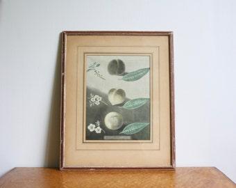 Framed Antique Peach Fruit Botanical Print Etching