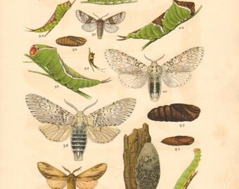 1913 Moths, Broad-bordered and Narrow-bordered Bee Hawk-moth, Sallow Kitten, Ermine Puss Moth, Swallow Prominent Original Antique Lithograph