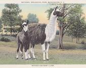 D.C. Llamas- 1940s Vintage Postcard- National Zoological Park- Washington, DC- Mother and Baby- Zoo Animals- Paper Ephemera