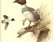 COMMON GOLDENEYE - Vintage J. F. Lansdowne Book Plate 5 'Birds of the Northern Forest'