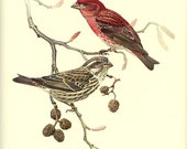 PURPLE FINCH - Vintage J. F. Lansdowne Book Plate 51 'Birds of the Northern Forest'