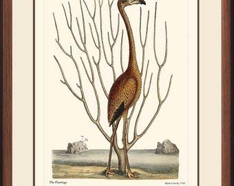 FLAMINGO - Vintage Catesby bird print reproduction  73