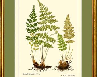 BRITTLE BLADDER & Rusty Woodsia Fern - Botanical print reproduction 503