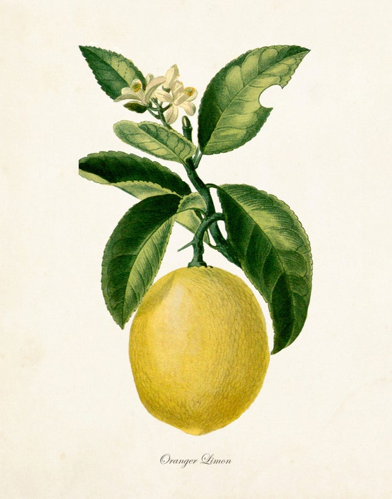 Antique botanicals prints and posters fruit prints wall art