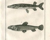 1804 Antique Engraving of Fishes, Northern Pike  Buffon and Sonnini Drawing by De Seve