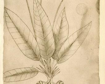 Vintage Botanical Print, Sketch Drawing of a Plant of Maranhao Brazil by Frey Cristovao de Lisboa