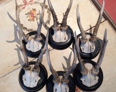 Collection of 5 Roe Deer Trophies