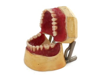 Antique Dental Model Red Wax Gums and Porcelain Teeth Medical Teaching Tools