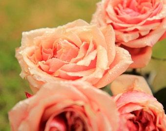 Peach Roses in the Rain - Flower Garden Photo Print - Size 8x10, 5x7, or 4x6