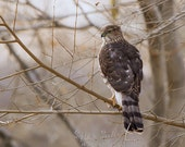 Coopers Hawk Art, wildlife photography, bird lover gift, nature wall art, wild bird photography, rustic home décor, birds of prey print