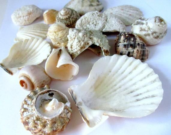Seashell lot large shell lot mixed seashells large for Big seashell crafts