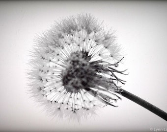 "Black and white Dandelion Art - dandelion puff silhouette 11x14 8x10 prints 16x20 black and white prints 24x36 large wall art - ""Hypnotized"""