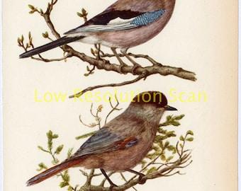 Jay & Siberian Jay Birds Vintage Illustration Single Page,Book,Plate,Garrulus Glandarius - Original,1950,Mounted,Matted,Print,Wall Art,Decor