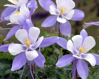 Colorado Columbine Wildflower Packet