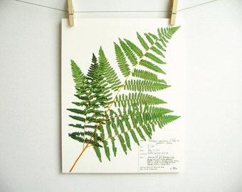 Bracken Fern Print, #32a, pressed fern frond botanical print original herbarium specimen scientific art print botanical with label fern art